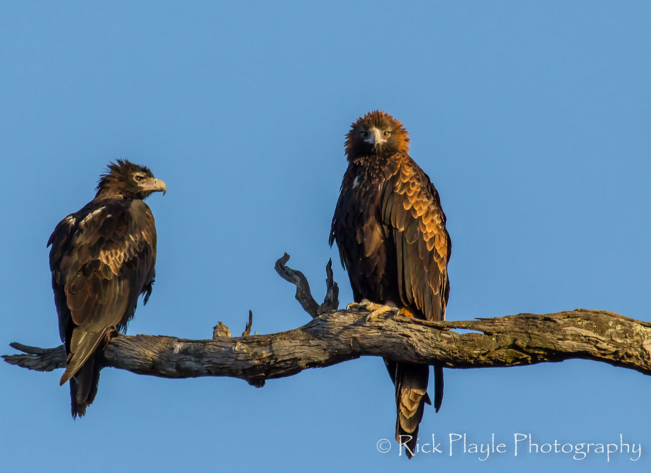 Dryandra Eagles