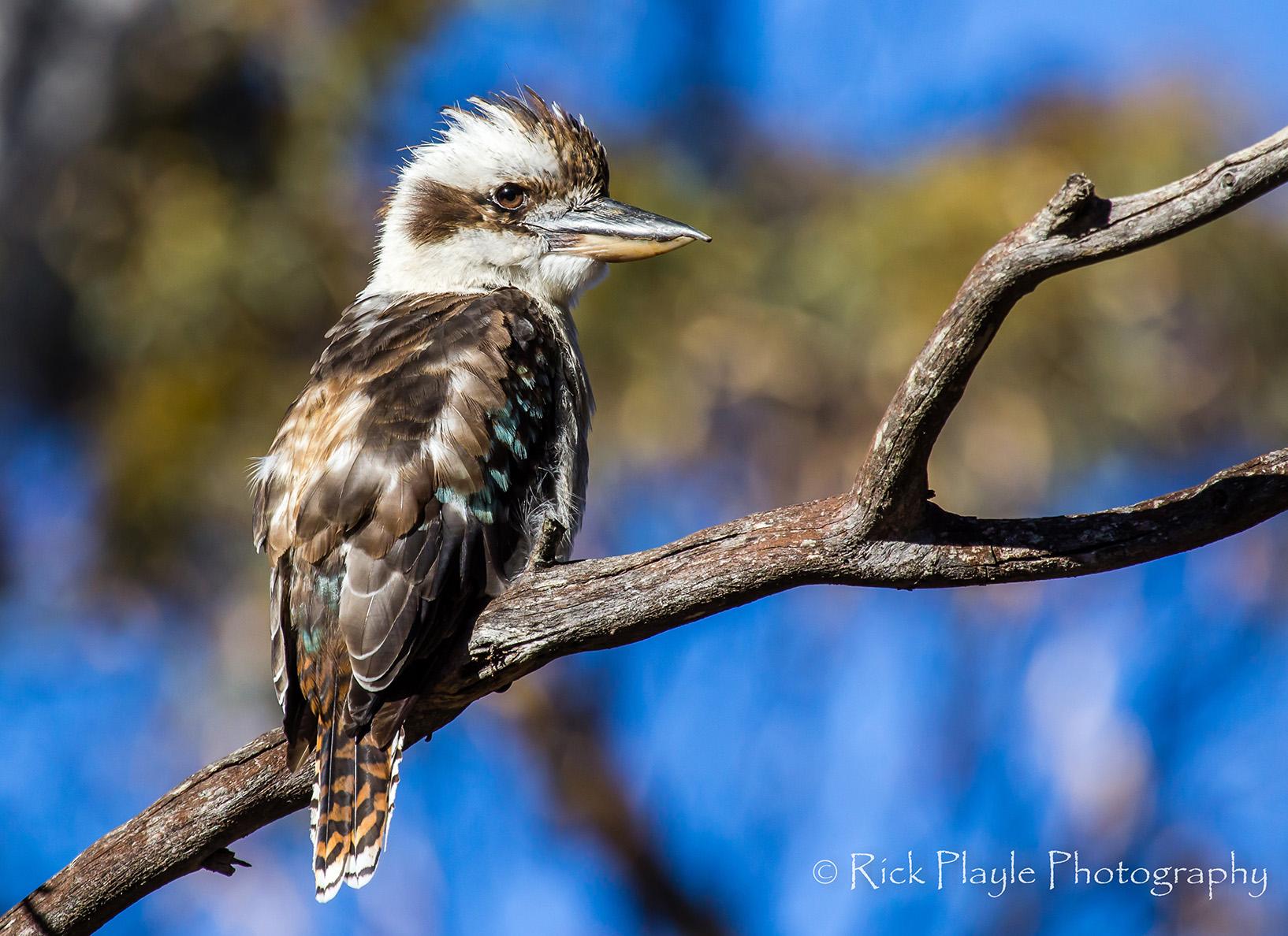 Kookaburra-3