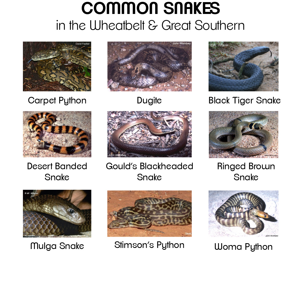 commonsnakes
