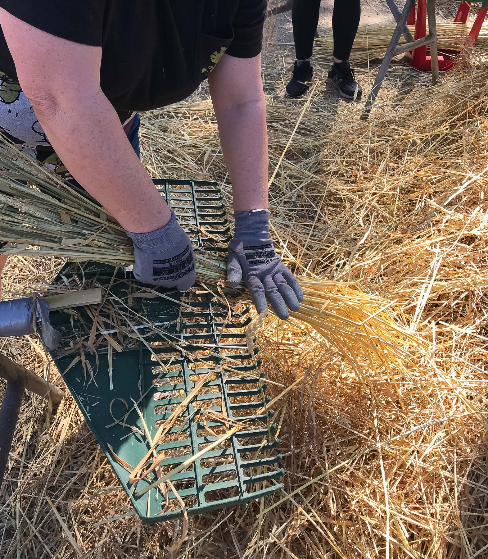 Wheat is pulled through a rake by gloved hands to prepare for weaving into toba at York. Photo by Caro Telfer